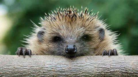 Igelfreundlicher Garten: So bewahrst du die bedrohte Art vor dem Aussterben