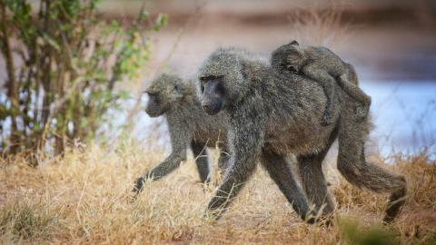 Affe hilft schutzlosem Welpen: Dann passiert das Undenkbare