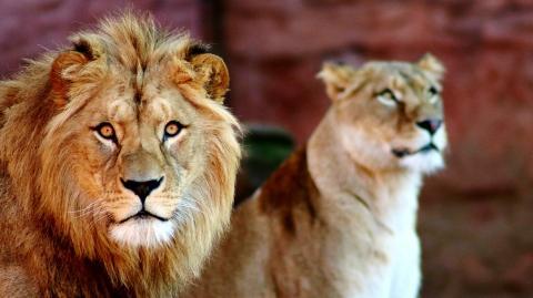 Coronavirus: Gleich vier Löwen im Zoo von Barcelona infiziert - auch Tierpfleger betroffen!