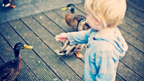 Lebensgefahr: Deshalb ist es ein fataler Fehler Enten mit Brot zu füttern