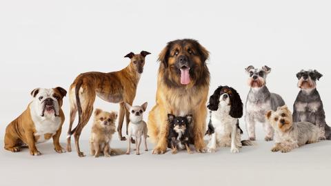 Eine Hunderasse stirbt wegen uns Menschen bald aus