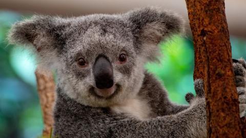 Koala löst Autocrash aus – und steigt selbst hinters Steuer
