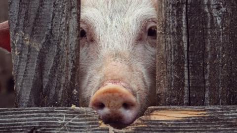"""""""Keine Überraschung"""": Schweine können mit ihren Schnauzen Videospiele spielen"""
