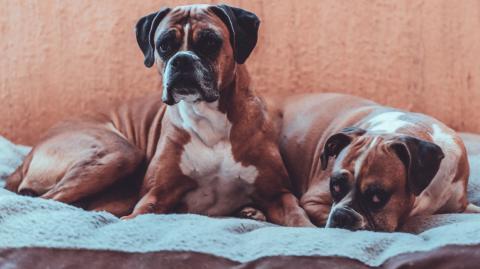 Der schlimmste Albtraum dieser Frau wird wahr, als sie ihre Hunde auf frischer Tat ertappt