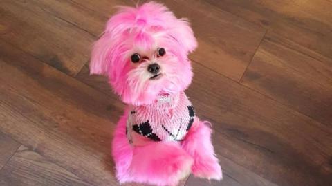 Frau färbt ihren Hund pink: Nicht nur Tierfreunde entsetzt!