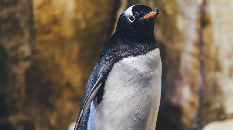 Verfolgungsjagd mit einem Killerwal: Pinguin rettet sich in Touristenboot