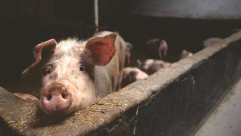 Frau sieht sich schwangere Schweine im Livestream an: Plötzlich fängt der Stall zu brennen an