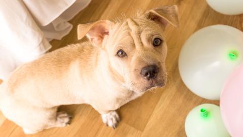 Tierquälerei: YouTuber bindet Hund an Helium-Luftballons fest