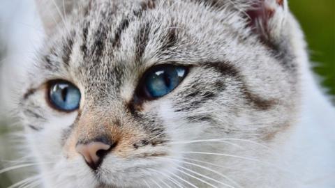 5 wunderschöne Katzenrassen mit blauen Augen