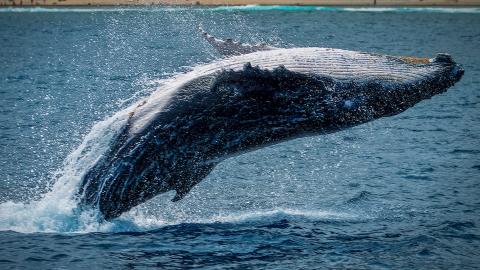 Dieser Wal hat einen Schatz im Wert von 1,5 Millionen Dollar im Bauch