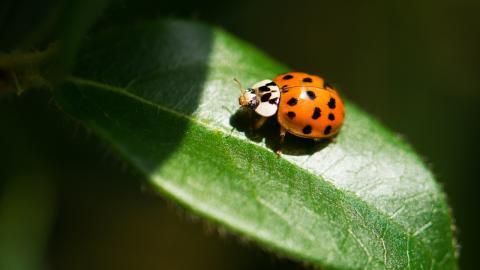 Doch kein Marienkäfer: Frau findet gefährliches Insekt in ihrem Zuhause!