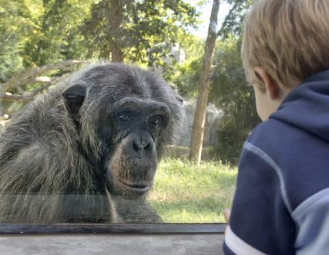 Belgien: Zoo beendet Beziehung zwischen Besucherin und Schimpansen