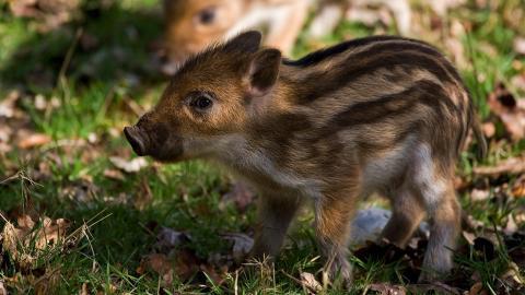 Gejagt, geschlagen und getreten: Kampf mit Wildschweinen endet für die Tiere tödlich