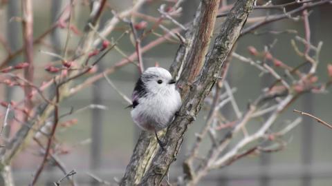 Gestatten? Die süßeste Vogelart der Welt: Die japanische Schwanzmeise!