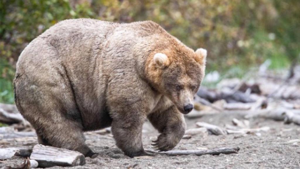 Fat Bear Week 2019: Das hat die dickste Bärin mit Body Positivity zu tun