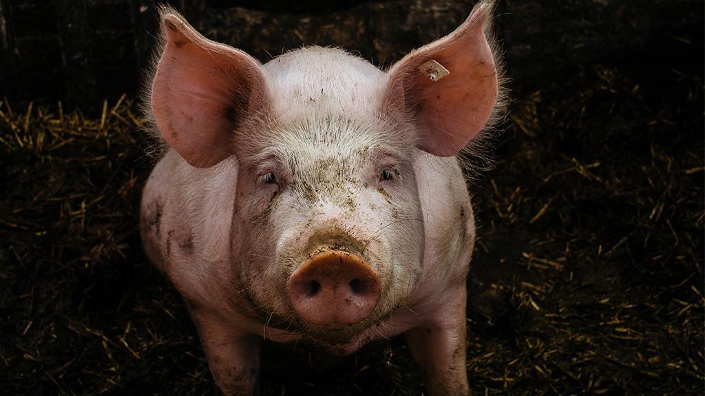 Um dem gegnerischen Verein zu höhnen: Fußball-Fans quälen Schwein fast zu Tode