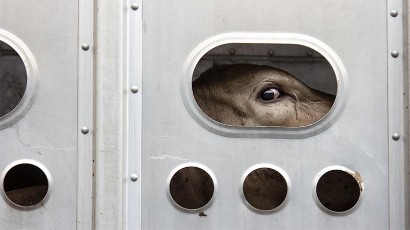 Quälende Tiertransporte: Das kannst du tun, um ihnen ein Ende zu bereiten