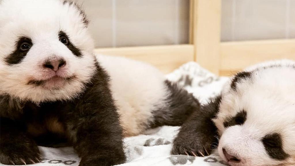 Zoo Berlin: Panda-Zwillinge haben ihre Namen bekommen…
