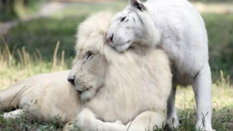 Weißer Löwe und weiße Tigerin haben zuckersüße Babys zusammen